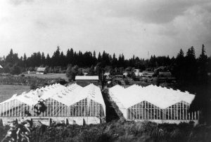 View of the Tsuyuki Greenhouses from the south in 1942.  Taka Tsuyuki climbed up Mattson's tree to get this shot, which was taken just prior to the relocation.